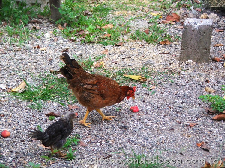 free roaming chickens