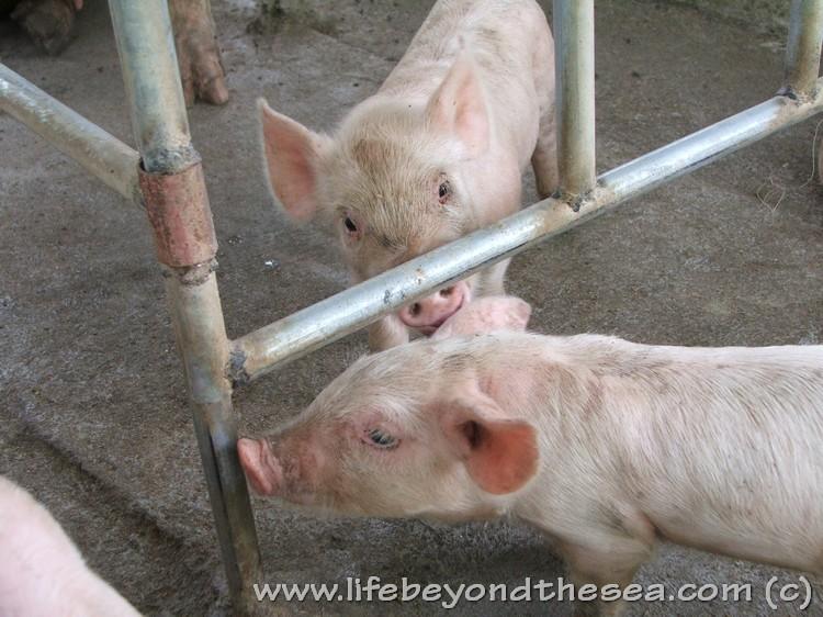 My piggies in Bogo